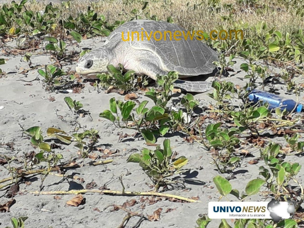 Ciudadanos custodiaron 186 huevos de tortuga