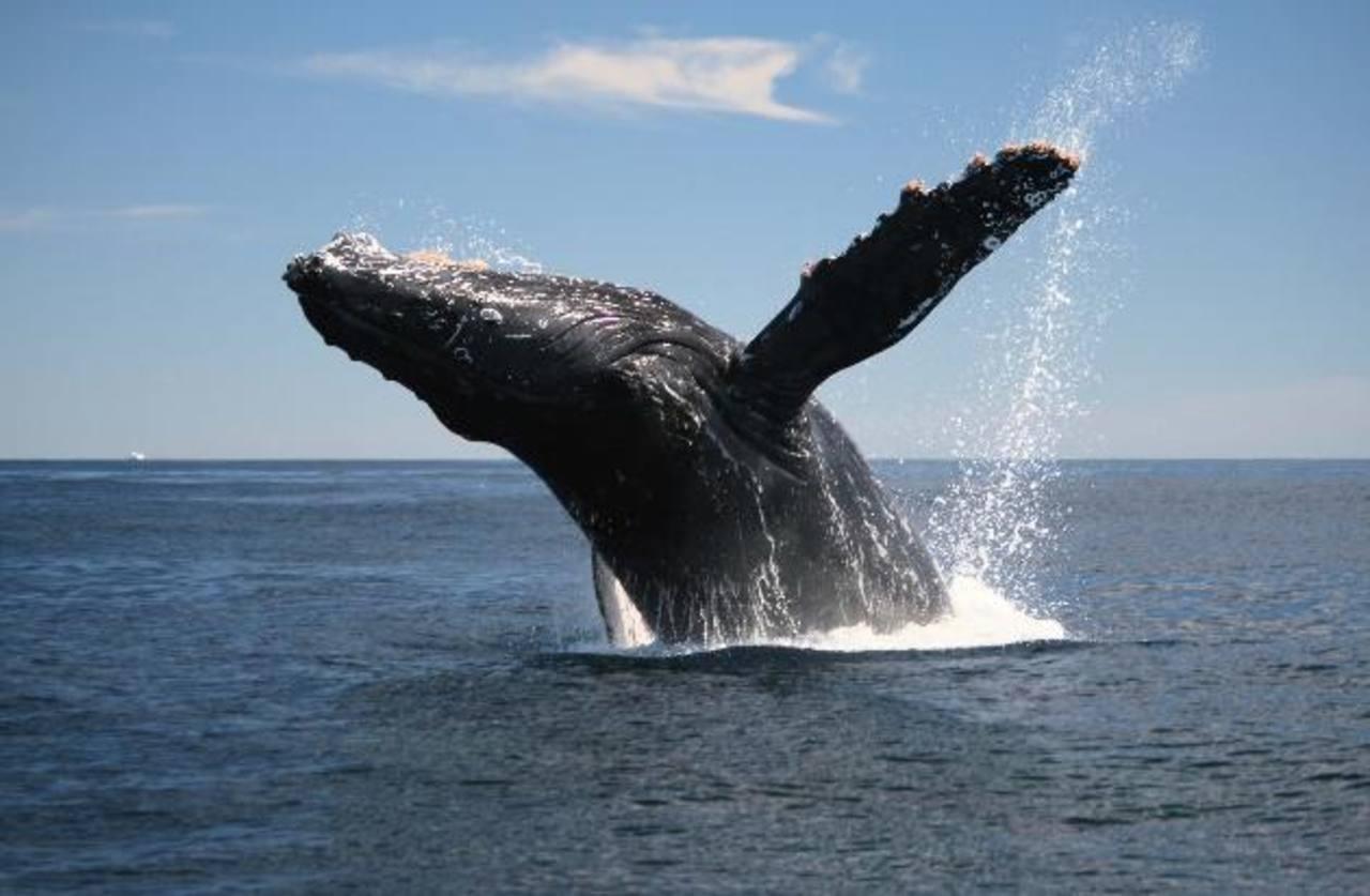 Lanzan proyecto de conservación y avistamiento de ballenas
