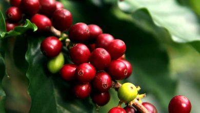 Photo of Defoliación y aplicación de aminoácidos para las plantas de café luego de las lluvias